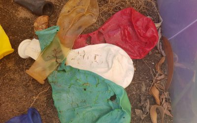 Latex Balloon Biodegradability Test- Three Months In